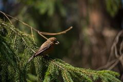 Red crossbill Loxia curvirostra a small passerine bird Royalty Free Stock Photography