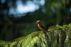 Red crossbill Loxia curvirostra a small passerine bird Stock Photo