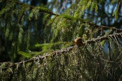 Red crossbill Loxia curvirostra a small passerine bird Stock Photography