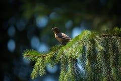 Red crossbill Loxia curvirostra a small passerine bird Stock Image