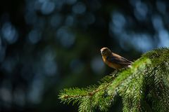 Red crossbill Loxia curvirostra a small passerine bird Royalty Free Stock Photo