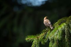 Red crossbill Loxia curvirostra a small passerine bird Royalty Free Stock Image