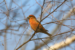 Red Crossbill, male. The red crossbill (Loxia curvirostra) is a small passerine bird in the finch family Fringillidae, also known as the common crossbill in stock image