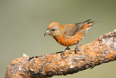 Red Crossbill - Male. Male Red Crossbill standing on a branch Royalty Free Stock Photography