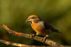 Red crossbill Royalty Free Stock Images