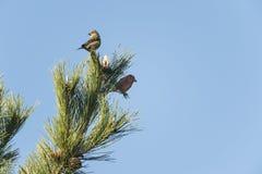 Red Crossbills in pine top Stock Photos