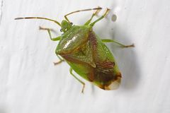 Red-crossed stink bug Royalty Free Stock Images