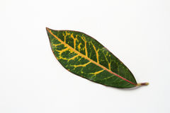 Red Croton leaf Royalty Free Stock Photos