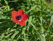 Red Crown Anemone and Wild Grass in the Negev royalty free stock photo