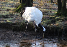 The red crown crane Royalty Free Stock Photography