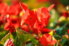Red crown of thorns flower Royalty Free Stock Photos