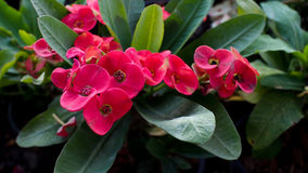 Red Crown of Thorns Stock Photography