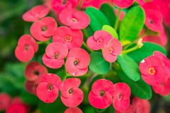 Red Crown of thorns flowers are blossoming fully.Thailand. Red Crown of thorns flowers are blossoming fully.Thailand Royalty Free Stock Images