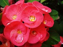 Red Crown of thorns flowers Thai : Poi Sian in the garden.  Stock Images