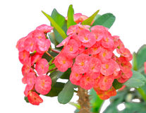 Red Crown of thorns flowers royalty free stock photo
