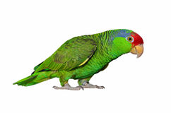 Red Crowned Amazon. Colorful Amazon parrot isolated on white background Stock Photography