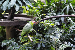 Red-crowned Amazon. In rest Stock Photo