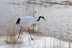 Red-crowned crane Royalty Free Stock Image