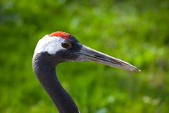 Red Crowned Crane Royalty Free Stock Images