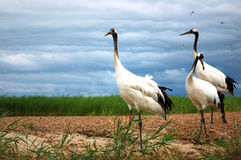 Red-crowned crane Stock Photos