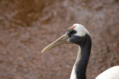 Red Crowned Crane Royalty Free Stock Photos