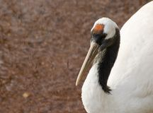 Red Crowned Crane Stock Image