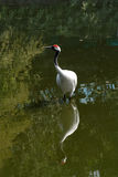 Red-crowned crane. A red-crowned crane and its reflection Stock Photography