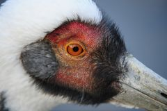 Red-crowned Crane Royalty Free Stock Photos