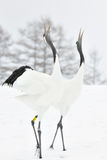 Red-Crowned Crane. Two Red-crowned Cranes display courtship Stock Photography