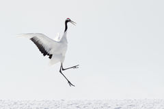 Red-Crowned Crane Stock Images