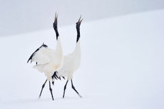 Red crowned Crane royalty free stock image