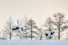 Red-crowned Crane stock image