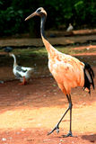 Red crowned crane. Full body of a walking red crowned crane Royalty Free Stock Photography