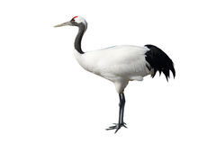Free Red-crowned Crane Stock Photos - 49356413