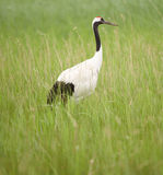Red -crowned crane Royalty Free Stock Images