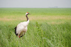 The Red-crowned Crane Royalty Free Stock Image