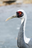 Red crowned crane Royalty Free Stock Photo