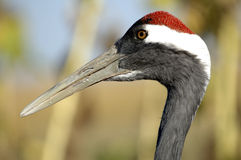 Red-crowned Crane. The head of a wild red-crowned crane close-ups Stock Photography