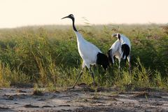 Red-crowned crane bird stock photos