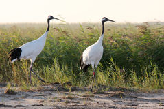 Red-crowned crane bird. Beautiful of Wetland, two red-crowned crane hovering in the reeds royalty free stock images