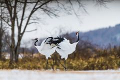 Red-crowned crane bird. Beautiful Dancing pair of Couple lover Red-crowned crane bird from kushiro hokkaido japan in winter season , Courting animal behavior royalty free stock images
