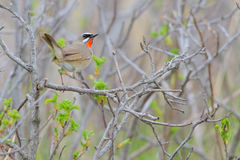 Siberian rubythroat. Calliope calliope. Bird Royalty Free Stock Images