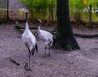 Red crowned crane birds together, also known as japanese crane,animal for the symbol of luck, rare and endangered species. Two red crowned crane birds together stock images