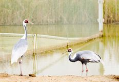 Red-crowned Crane. China is the world's largest red-crowned crane countries, China is also the richest culture, the oldest national crane. In history there are Royalty Free Stock Photos