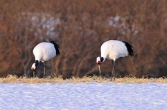 Red-crowned Crane, Chinese Kraanvogel, Grus japonensis. Red-crowned Crane display; Chinese Kraanvogel baltsend royalty free stock photography