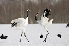 Red-crowned Crane, Chinese Kraanvogel, Grus japonensis. Red-crowned Crane display; Chinese Kraanvogel baltsend royalty free stock image