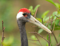 Red crowned crane Royalty Free Stock Photography