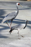 Red-crowned crane family Royalty Free Stock Image