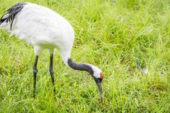 Red-Crowned Crane Feeding Stock Images