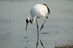Red-crowned crane finding food Stock Images
